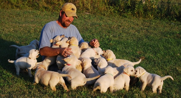 White and Yellow Labrador Puppies